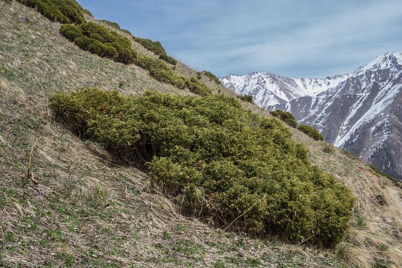 Juniperus pseudosabina