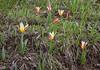 Tulipa dubia