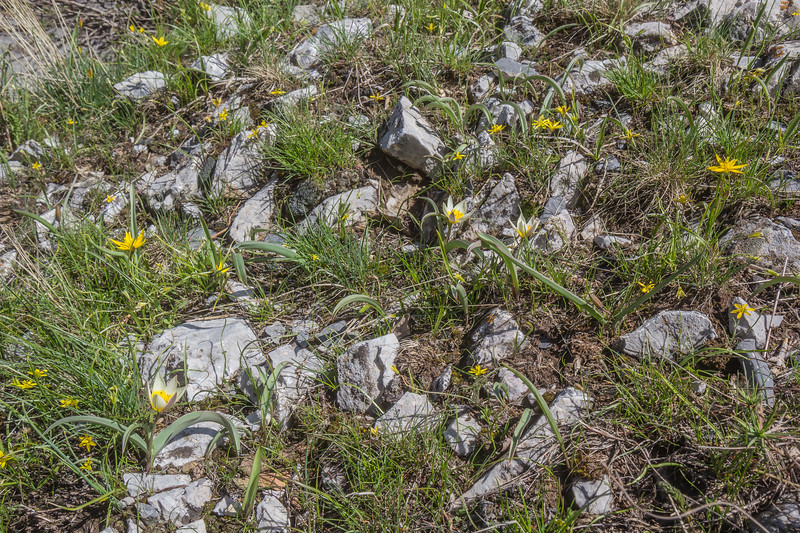 Tulipa dasystemonoides and Gagea turkestanica