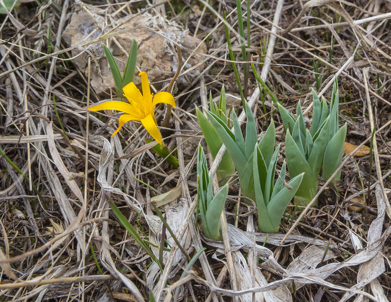 Colchicum luteum and ?