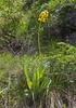 Ligularia talassica