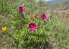 Tulipa thianschanica, Paeonia intermedia and  Iris alberti