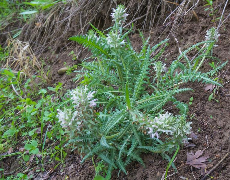Pedicularis olgae