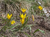 Gagea liotardii and Tulipa dasystemon