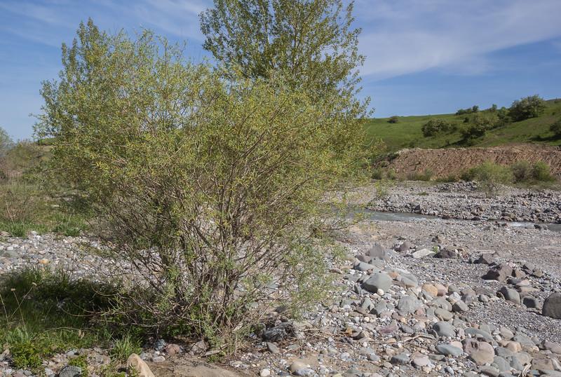 Salix niedzwieckii