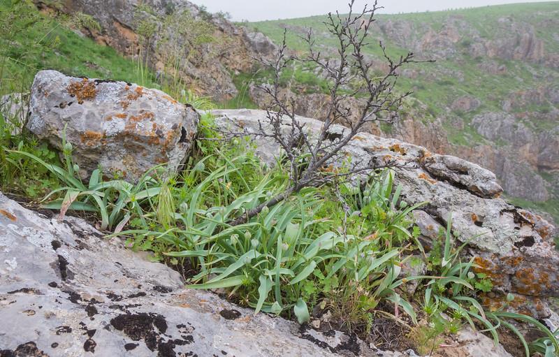 Tulipa lemmersii