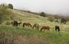 free living horses