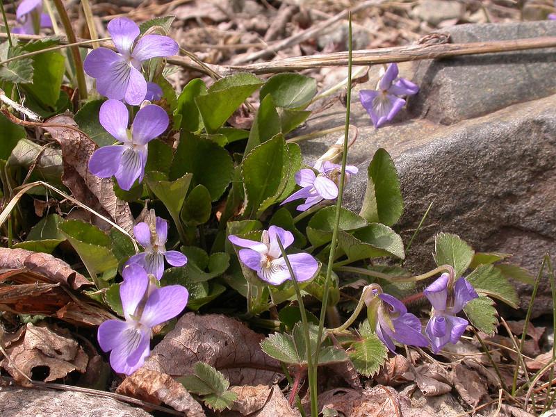 Viola suavis
