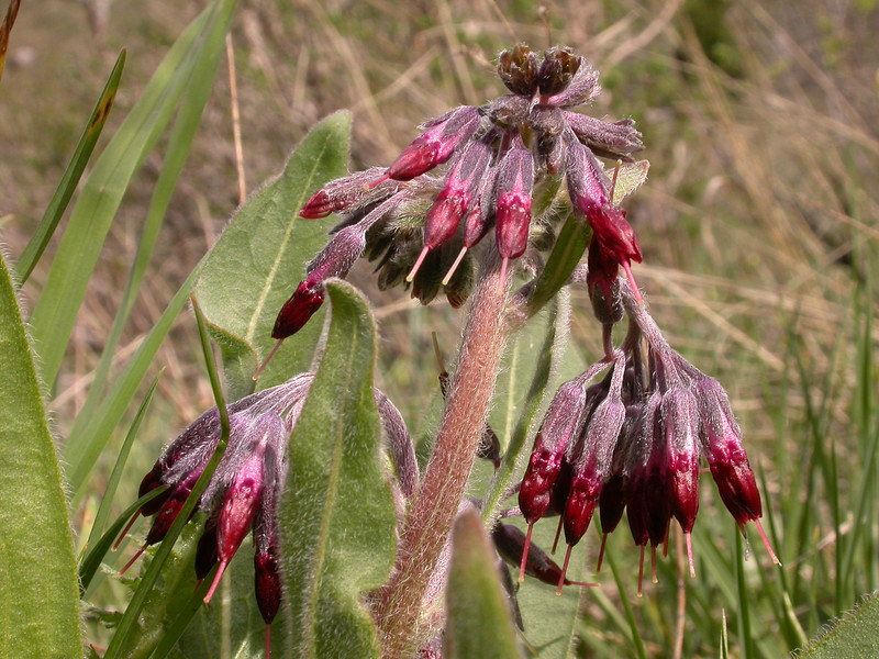 Rindera oblongifolia