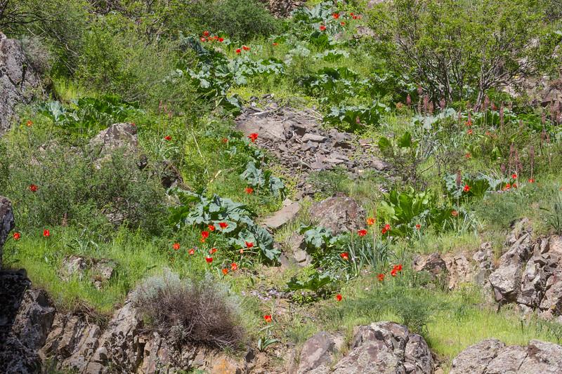 Eremurus cristatus , Tulipa greigii   and Crambe kotschyana