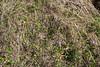 Primula kaufmanniana and Primula algida