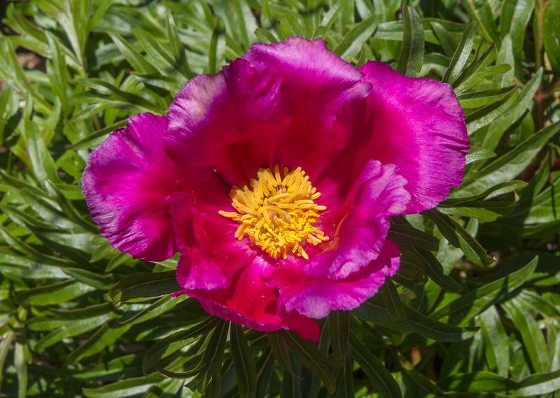 Paeonia intermedia