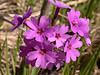 Primula kaufmanniana
