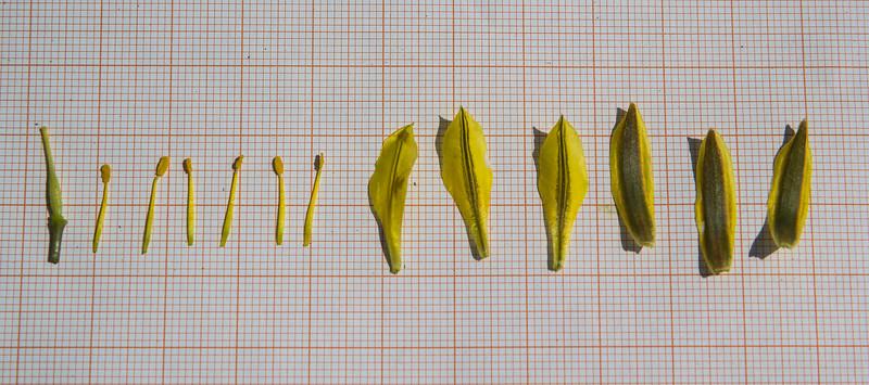 Tulipa heterophylla
