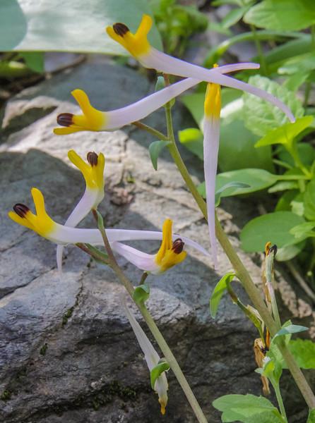 Corydalis (schanginii) ainae
