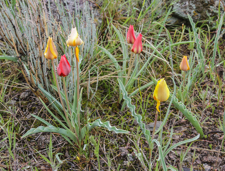 Tulipa ostrowskiana