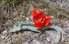 Tulipa alberti