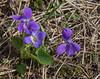 Viola collina