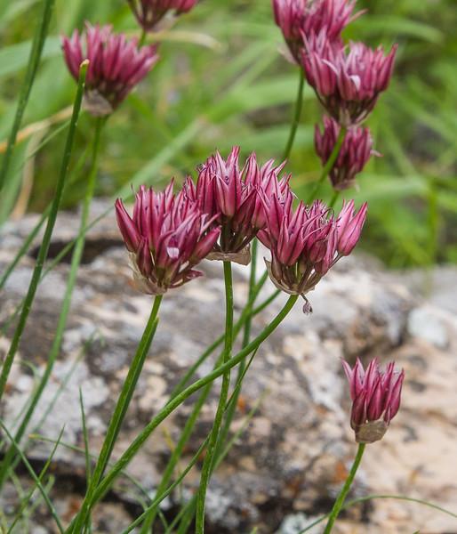 Allium inconspicuum