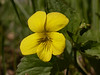 Viola acutifolia