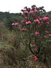 Rhododendron arboreum ssp. cinnamomeum, (undersite leafs, matt, bistrate, cinnamon, rust-coloured)