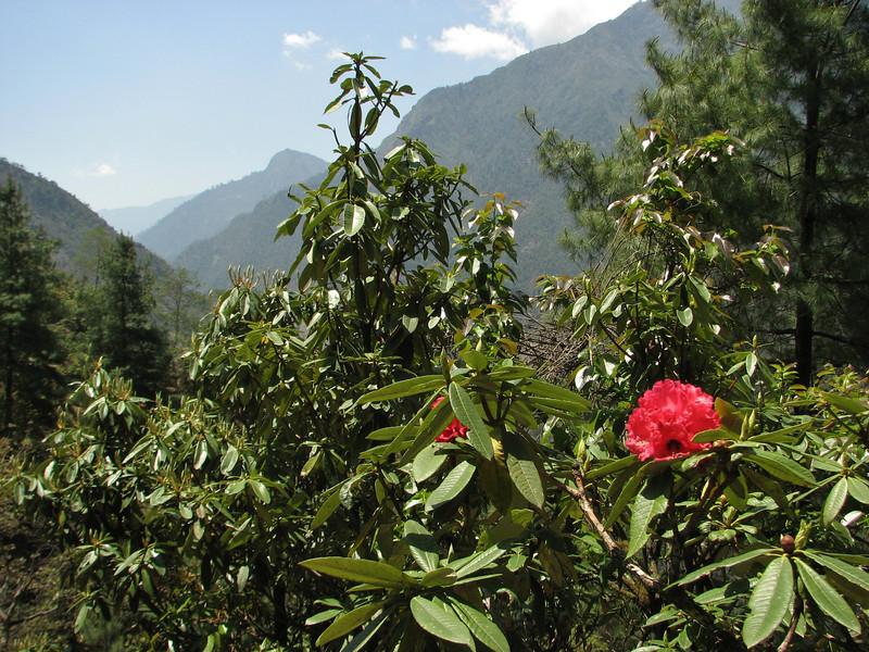 Rhododendron arboreum ssp arboreum, Lukla 2775m-Puyan 2725m