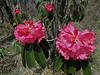Rhododendron arboreum  (undersite leaf, indumentum whitish) near Chalem Kharka 3450m