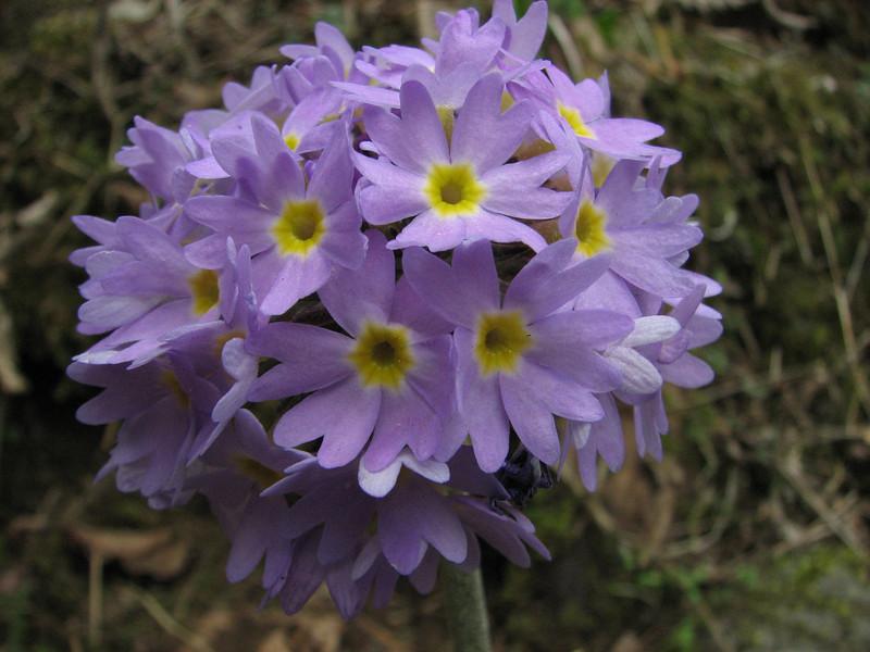 Primula denticulata, Zatwrala 3800m-Lukla 2800m