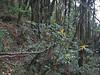 Mahonia napaulensis, Pangkongma 2850m-Najing 2600m
