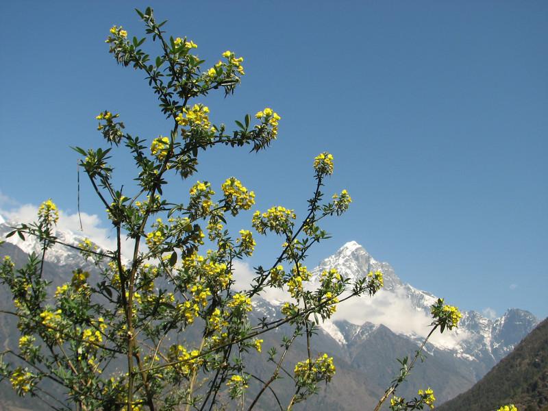 Piptanthus nepalensis, Lukla 2775m