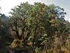 Rhododendron barbatum, Pangkongma 2850m-Najing 2600m