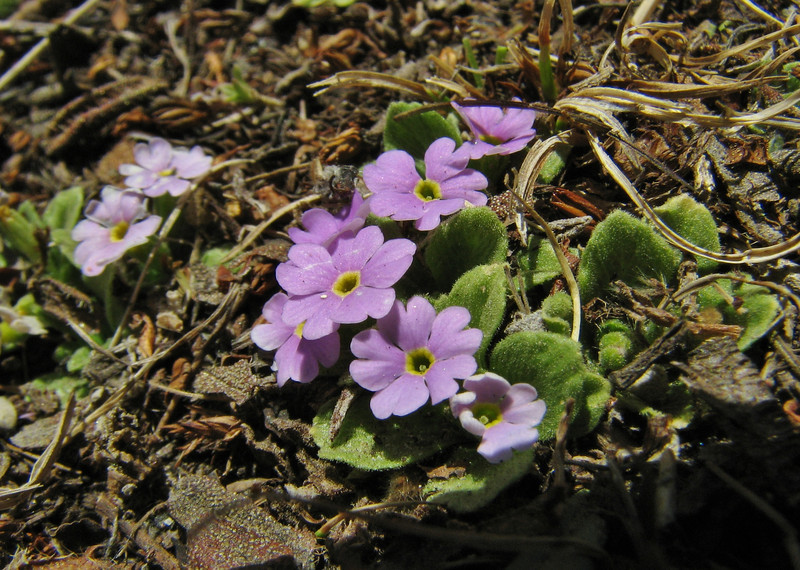 Primula walshii, Tangnag 4300m-Khare 4950m  [identification by Pam Eveleigh, Primula World Canada]