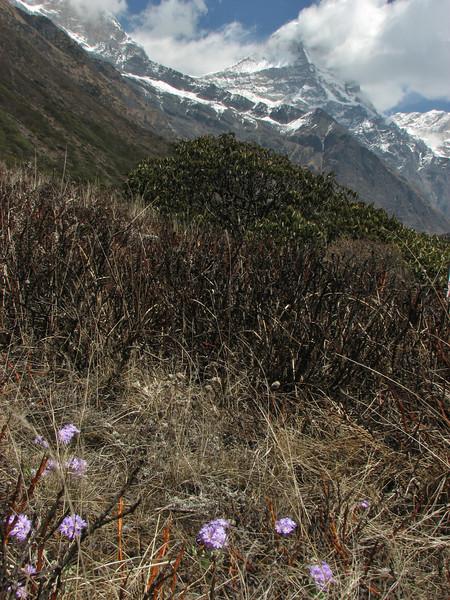 Primula atrodentata,  Kothe 3700m-Tangnag 4300m