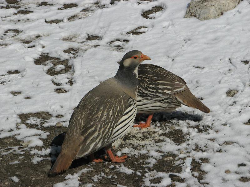 Tetraogallus tibetanus, Tibetan Snowcock, Base camp Island Peak 5000m