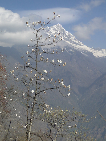 Magnolia campbellii, Puyan 2725m-Pangkongma 2850m