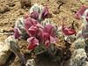 Thermopsis barbata, Monjo 2900m-Namche Bazaar-Tengboche-Deboche 3630m