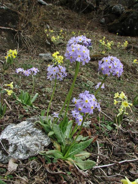 Primula denticulata and Primula strumosa ssp. strumosa, Zatwrala 3800m-Lukla 2800m