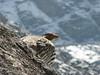 Tetraogallus tibetanus, Tibetan Snowcock, near Camp Khare 4950m