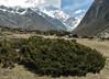 Juniperus indica,  Kothe 3700m-Tangnag 4300m