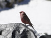 ??cf. Rosefinch spec, Camp Khare 4950m