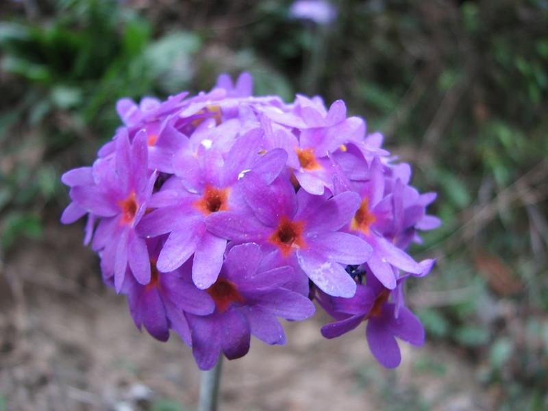 Primula denticulata (dark coloured form), Zatwrala 3800m-Lukla 2800m