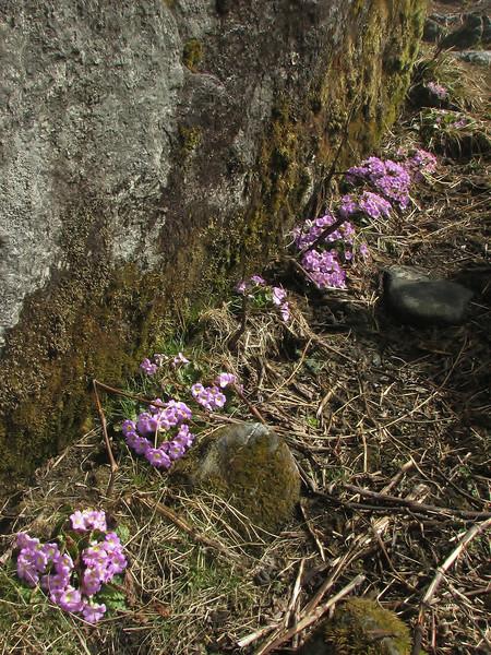 Primula gracilipes, Chalem Kharka 2600m-Kharka 4150m