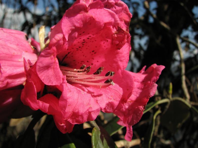Rhododendron arboreum ssp. arboreum, Puyan 2725m-Pangkongma 2850m