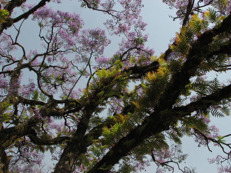 Jacaranda mimosifolia (native to South America), Kathmandu 1300m