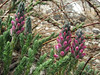 Myricaria rosea, Khare 4950m-Kothe 3700m