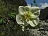 Rosa sericea, Namche Bazaar 3450m-Phakding 2650m