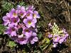 Primula  gracilipes, Kothe 3700m