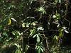 Edgeworthia gardneri, Puyan 2725m-Pangkongma 2850m
