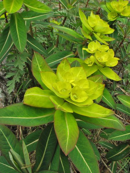 Euphorbia luteoviridis (Long), syn. E. himalayensis (Klotzsch) Lukla 2800m-Monjo 2900m