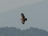 Aquila nipalensis juv. Tawny Eagle, (NL: Steppenarend)     Puyan 2725m-Pangkongma 2850m
